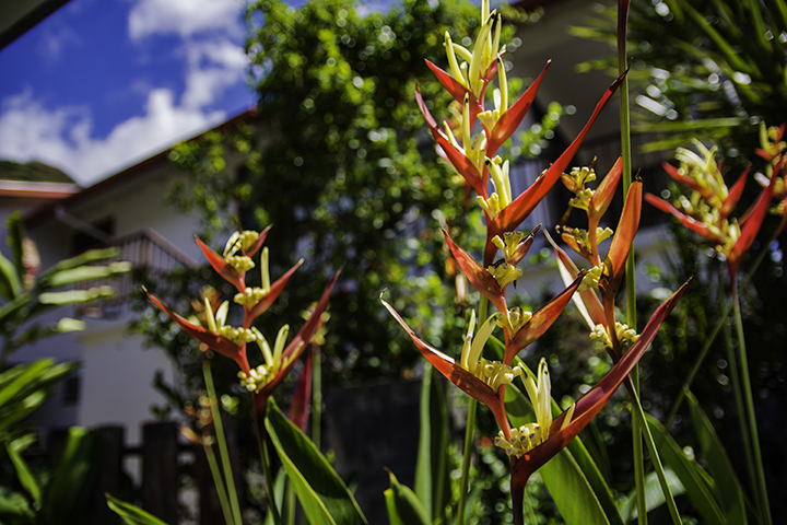 Another one of the many Hawaiian flowers
